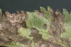 Pseudocercospora depazeoides