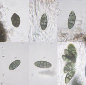 Rhizocarpon geographicum