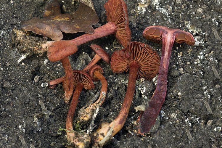 Cortinarius puniceus