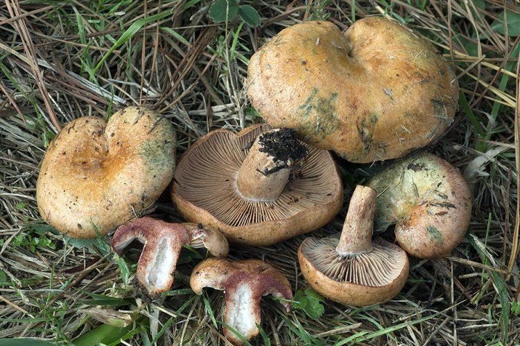Lactarius vinosus