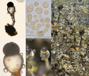 Pilobolus heterosporus