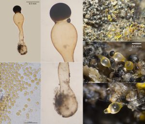 Pilobolus sphaerosporus