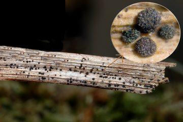 Arthrinium puccinioides