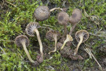 Hodophilus phaeoxanthus