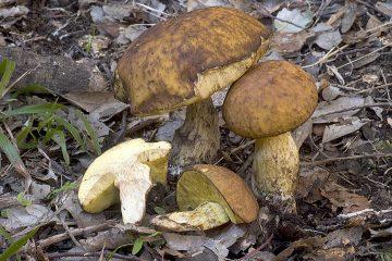 Leccinellum crocipodium