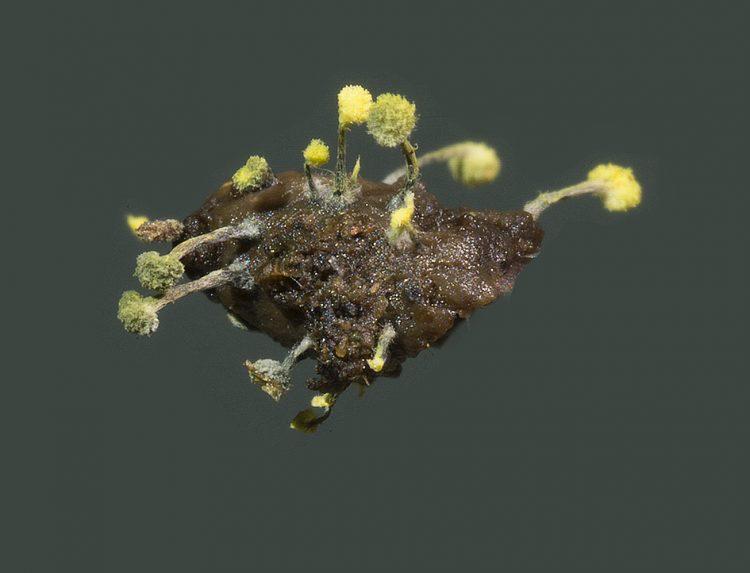 Mycosylva setosa