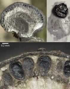 Daldinia caldariorum