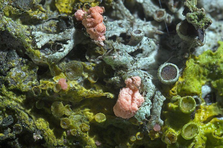 Illosporiopsis christiansenii