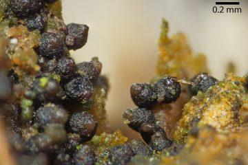 Thaxteriella sp.