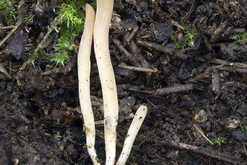 Ramariopsis sp.