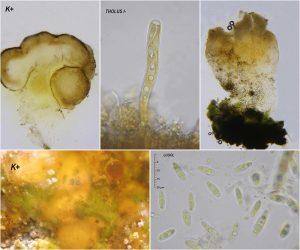 Baeomyces rufus