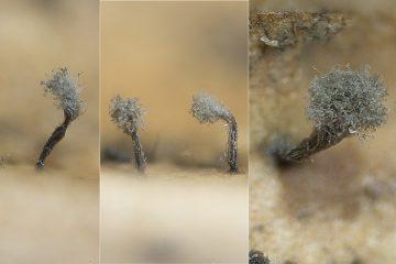 Coremiella cubispora