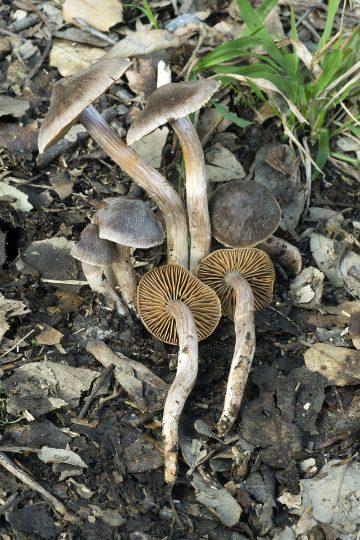 Cortinarius parvannulatus