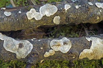 Cerioporus mollis