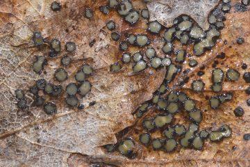 Coccomyces coronatus