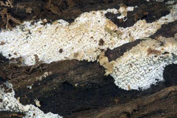 Hyphodontia arguta