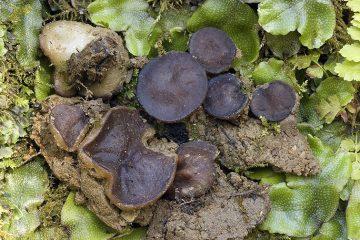 Pachyella violaceonigra