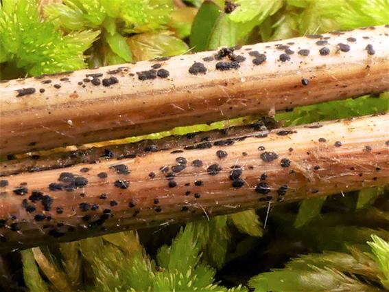 Actinothyrium graminis