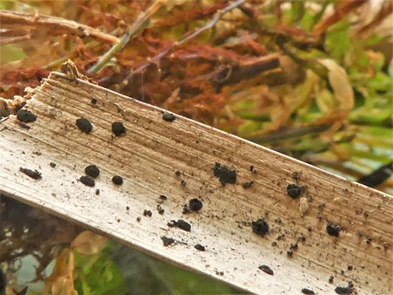 Arthrinium sporophleum