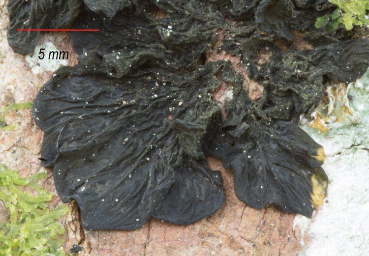 Collema furfuraceum.
