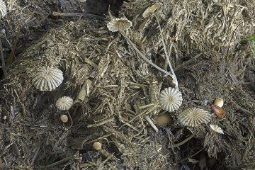 Coprinopsis cordispora