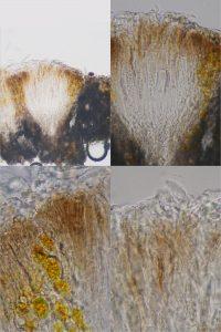 Enterographa crassa