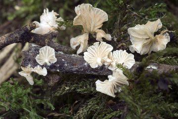 Entoloma albotomentosum