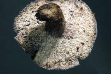 Hypomyces tremellicola
