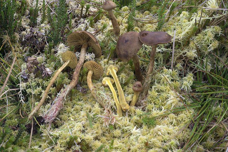 Cortinarius huronensis