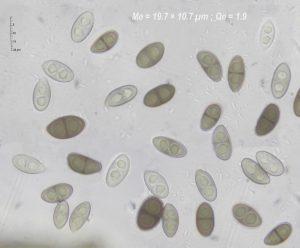 Rinodina archaea